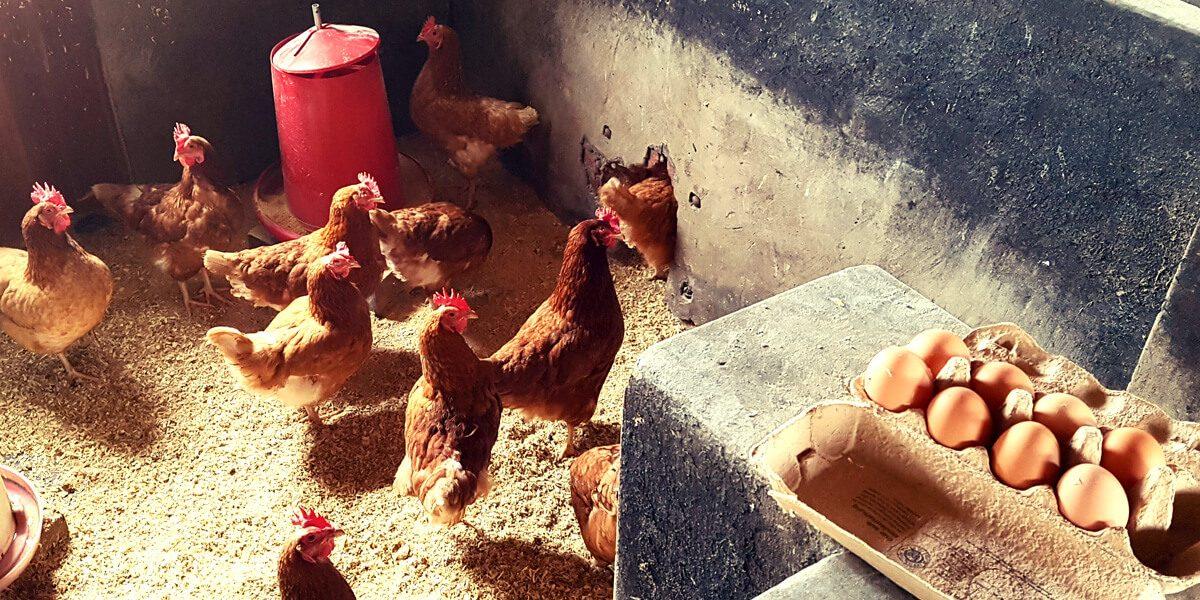 Impressionen aus dem Hühnerstall